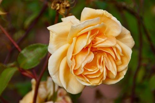 Fotografie gelbe Rose